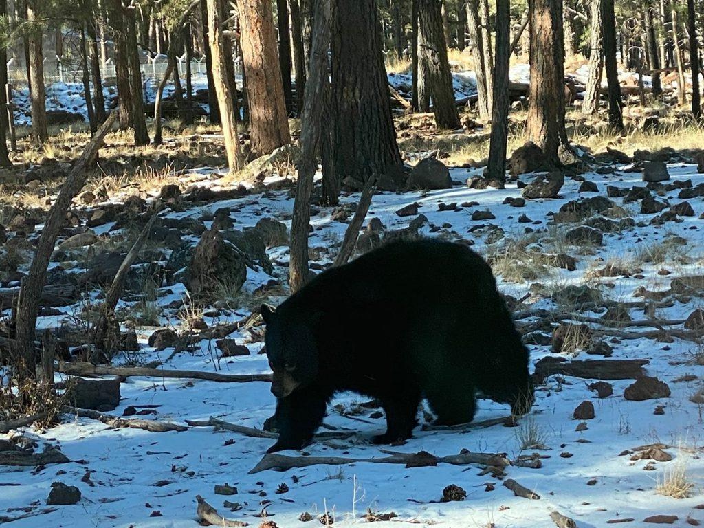 Black bear walking in the snow at Bearizonia. | Williams, Arizona on Route 66 with Kids