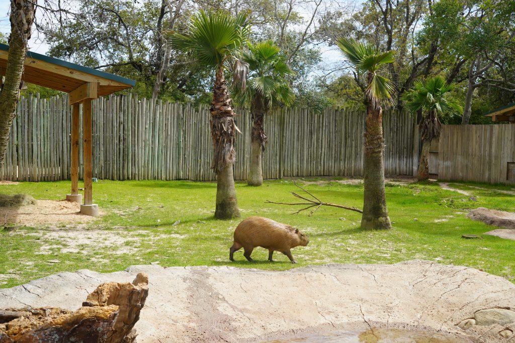 Capybara at the zoo. | The Houston Zoo