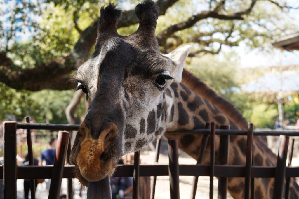 Giraffe at the feeding platform at the zoo. | The Houston Zoo