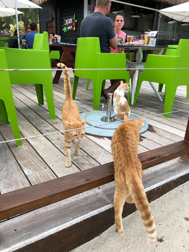 Group of cats hanging out at a restaurant at Sandals resort in Jamaica.   Jamaica Over-Water-Bungalows
