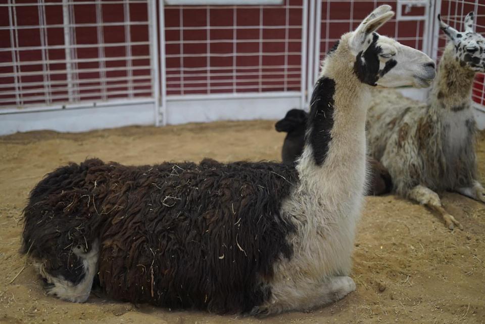 Llama in the animal area at the fair. | State Fair of Texas-Dallas