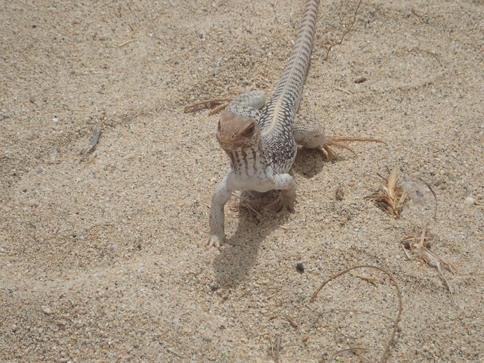 Lizard in the sand in Cabo.   Cabo, Mexico- The Best All Inclusive Vacation