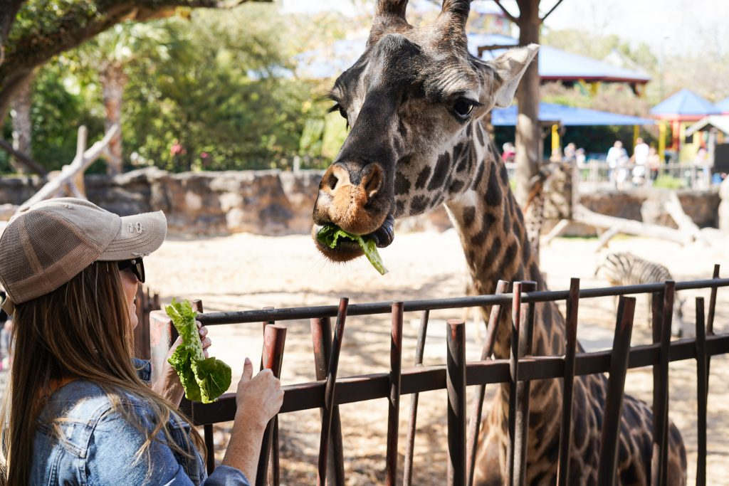 Woman feeding a giraffe at the zoo.| The Houston Zoo
