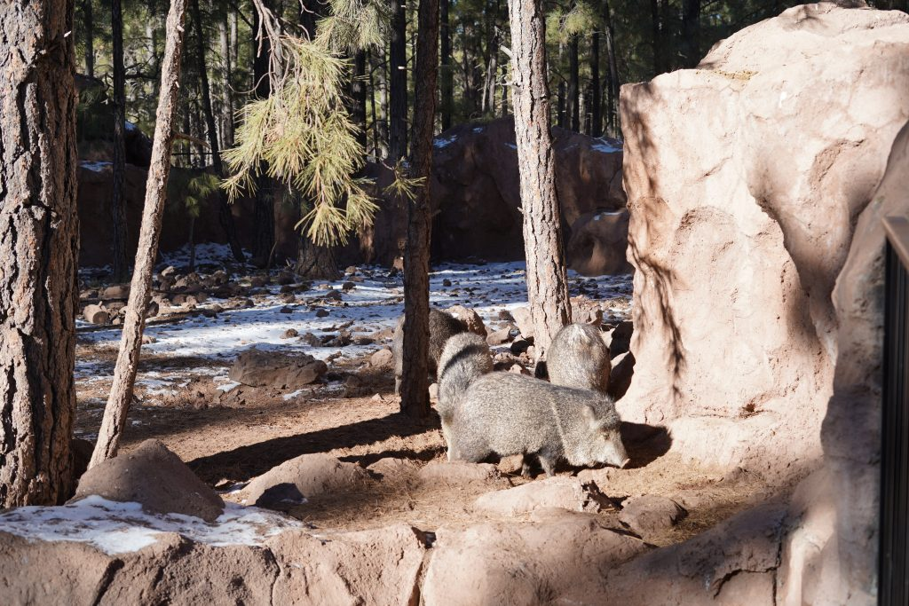 Family pigs on the rocks at Bearizonia. | Williams, Arizona on Route 66 with Kids