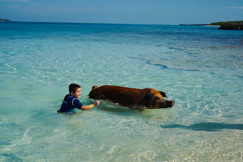 Little boy swimming with a pig in the water at the Atlantis resort.   Atlantis, Bahamas