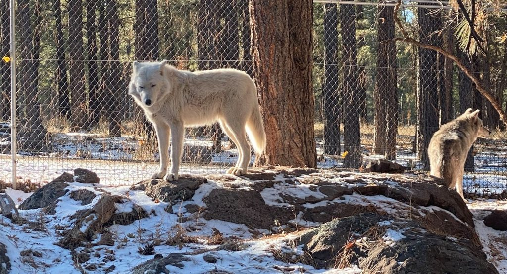 White artic wolf standing on a rock at Bearizonia. | Williams, Arizona on Route 66 with Kids