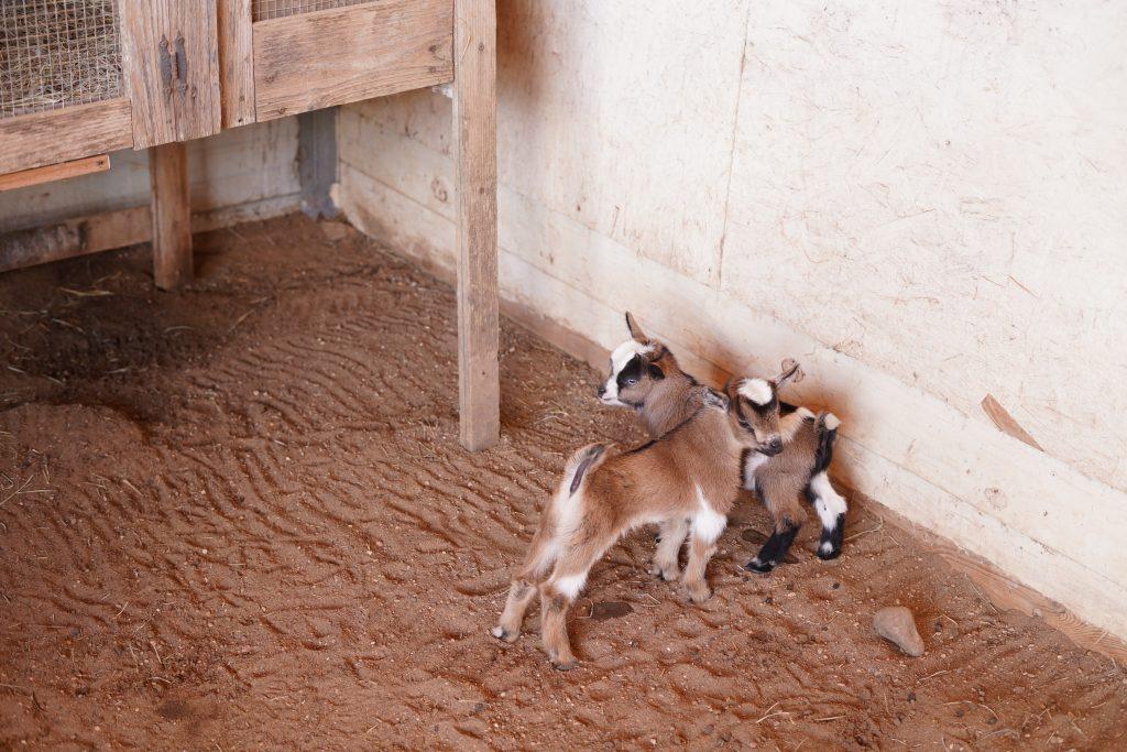 Baby goats on the farm at Animal Encounter at Blessington Fields. | Blessington Farms in Simonton, Texas