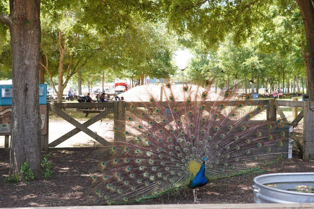 Peacock on the farm at Animal Encounter at Blessington Fields. | Blessington Farms in Simonton, Texas