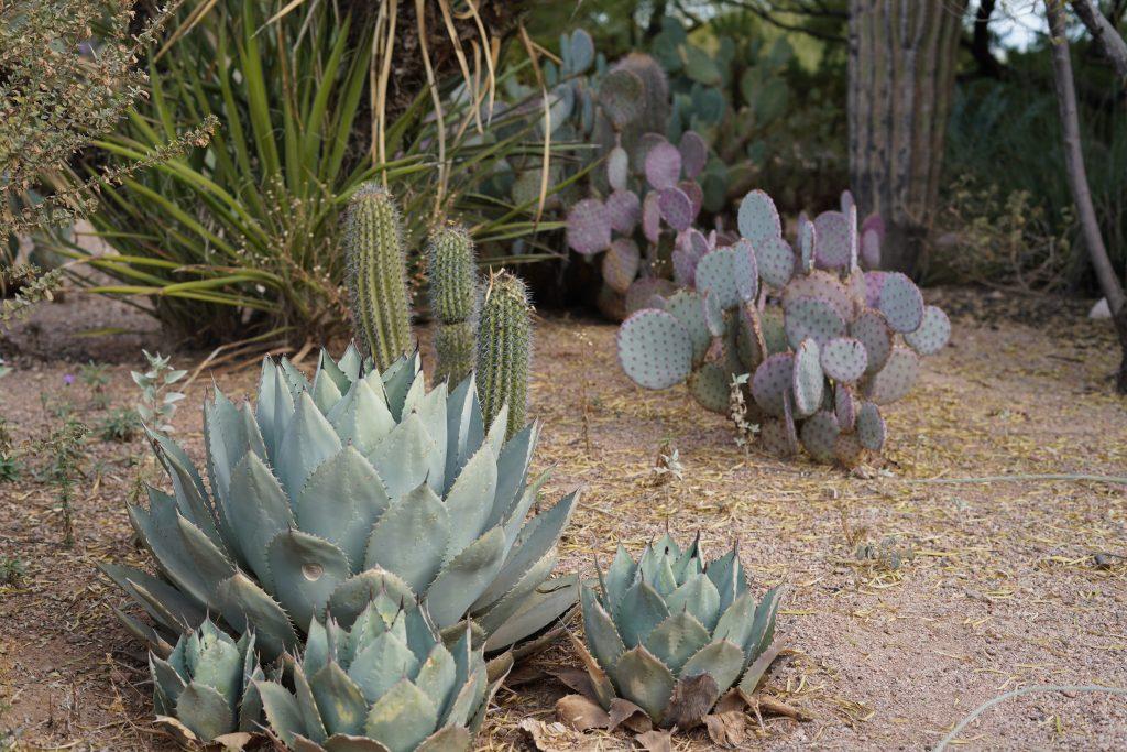 Small bush-like cacti in the desert. | Desert Botanical Gardens in Arizona