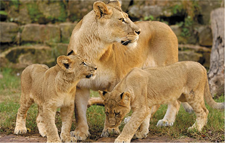 Lions at Fort Worth Zoo in Dallas.| Weekend in Dallas with Kids