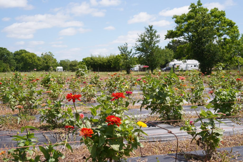 Field of flowers for picking at Blessington Fields. | Blessington Farms in Simonton, Texas