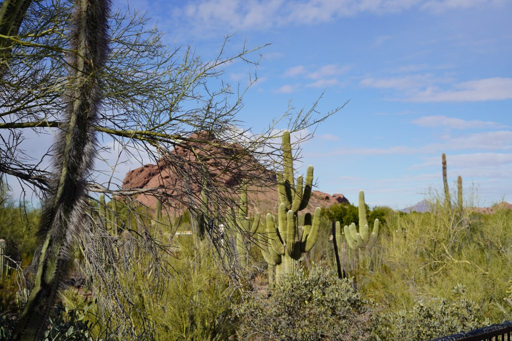 View of the gardens filled with cacti. | Desert Botanical Gardens in Arizona