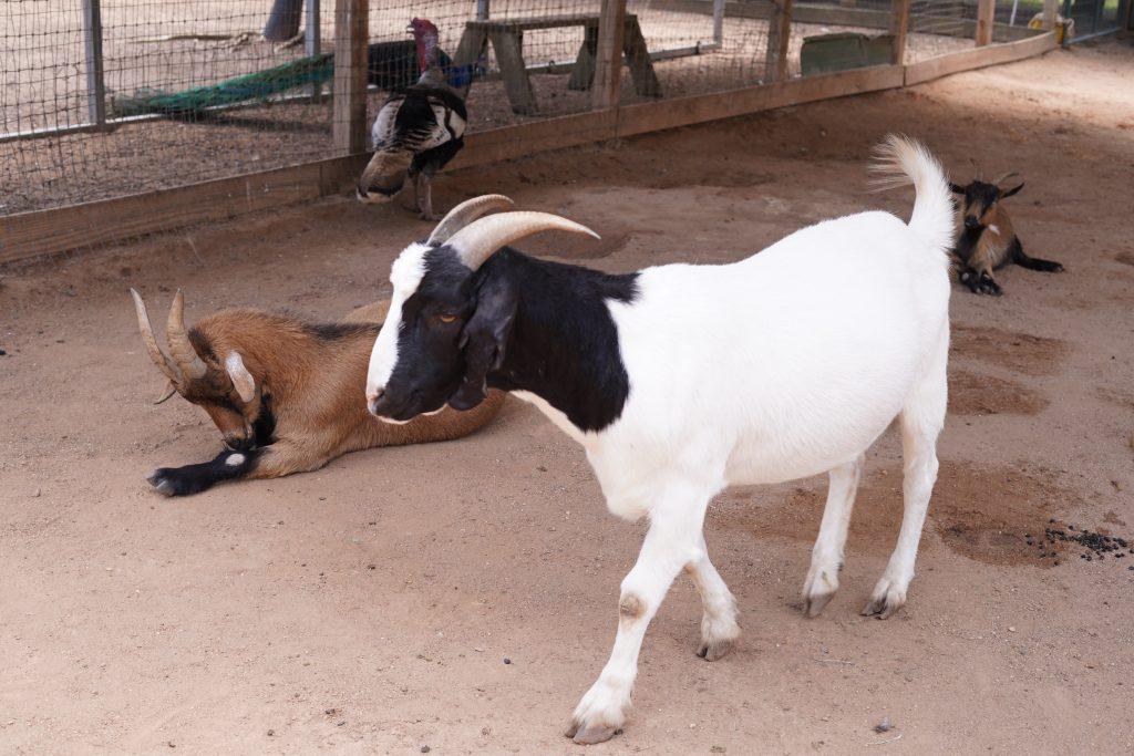 Goats on the farm at Animal Encounter at Blessington Fields. | Blessington Farms in Simonton, Texas