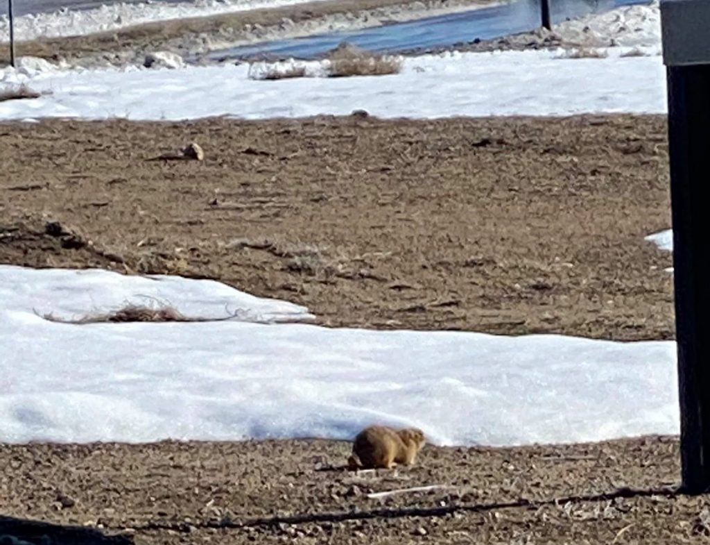 Groundhog walking in the snow in Colorado.| Best Places to Visit in Colorado
