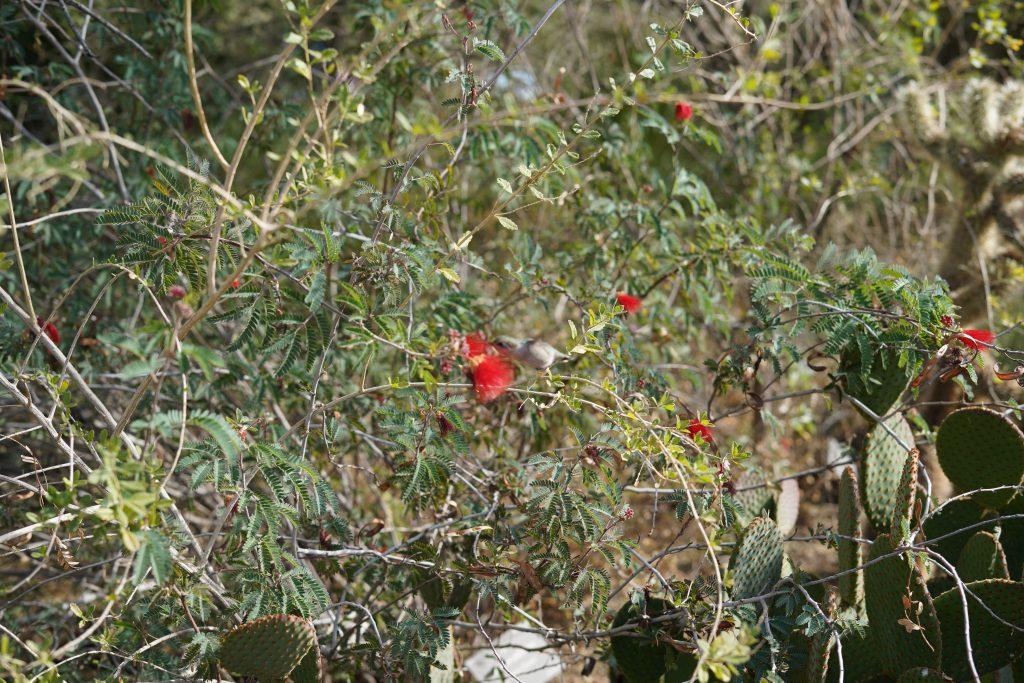 Hummingbird enjoying a flower in the gardens. | Desert Botanical Gardens in Arizona
