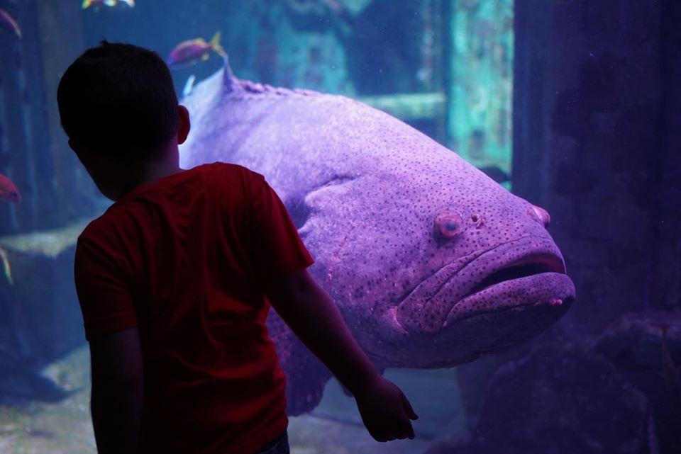 Little boy looking at a large fish in the aquarium at the Atlantis resort.   Atlantis, Bahamas