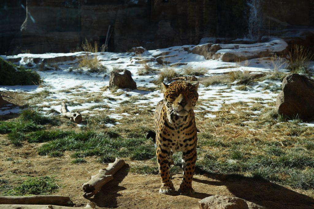 Tiger at the zoo. | Arizona Itinerary with Kids