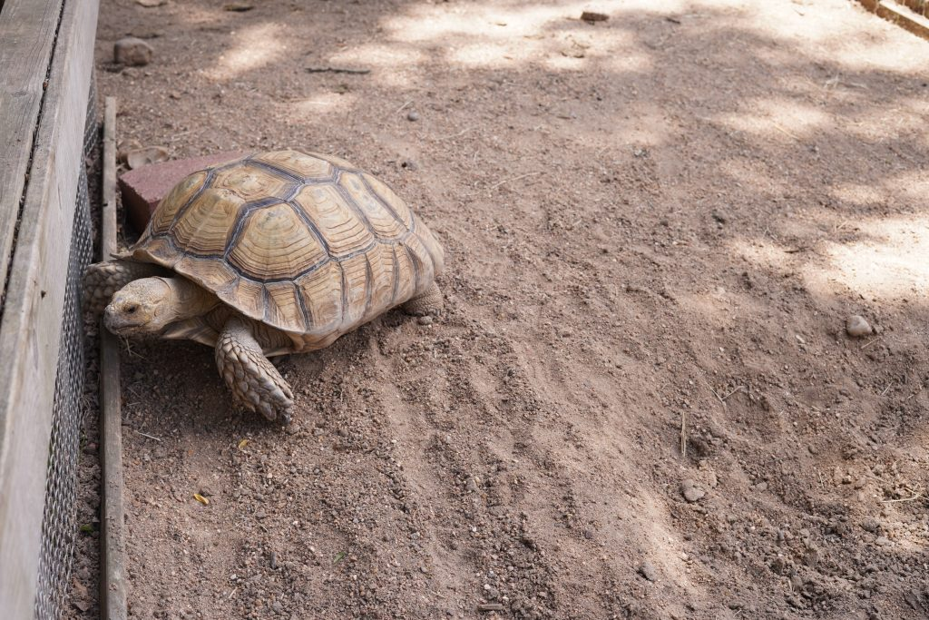 Turtle walking at Animal Encounter at Blessington Fields. | Blessington Farms in Simonton, Texas