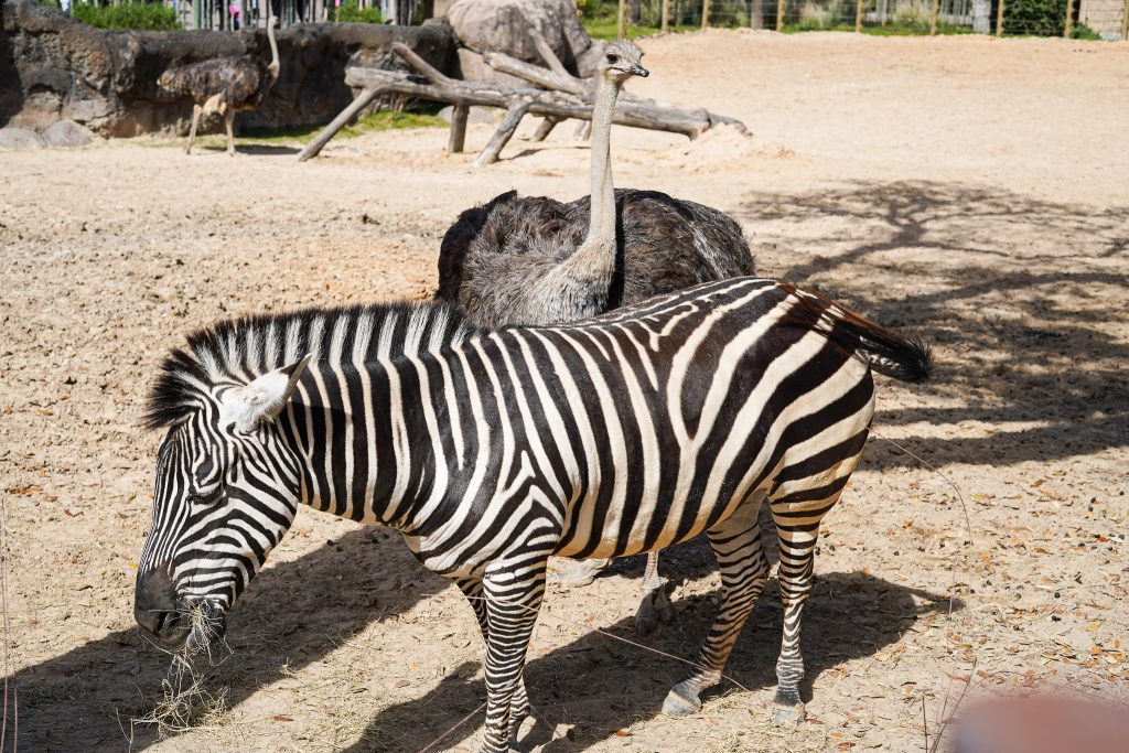 Zebra an ostrich at the zoo. | The Houston Zoo